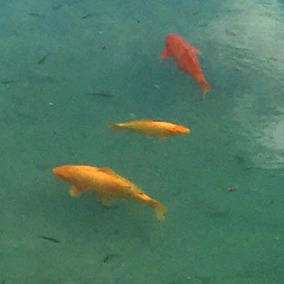 SeeGoldFish_400x400_jl